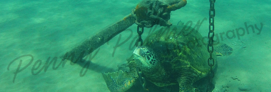 Maui Green Sea Turtles by Penny Palmer Photography