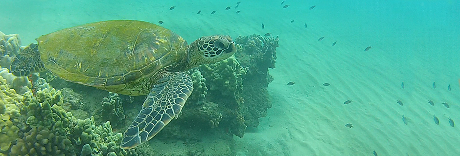 Hawaiian Sea Turtles
